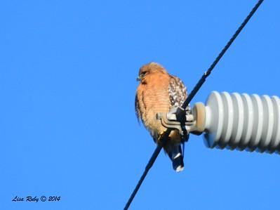 Red-shouldered Hawk - - 12/29/2014 - Hwy 78 between Julian and Ramona