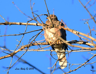 Band-tailed Pigeon - 12/29/2014 - Julian Cemetery