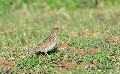 Savannah Sparrow - 12/29/2014 - Rangeland Road, Ramona