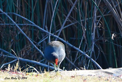 Common Gallinule - 12/29/2014 - Lindo Lakes