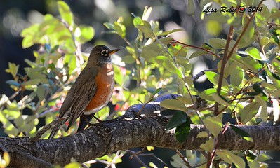 American Robin - 12/29/2014 - Julian