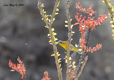 distant Nashville Warbler - 4/4/2015 - Moonlight Trail, Agua Caliente