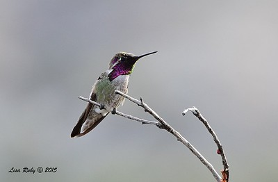 Costa's Hummingbird - 4/5/2015 - Nature Trail, Agua Caliente
