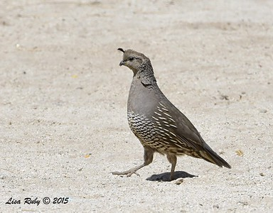 California Quail - 4/4/2015 - Tent sight 109, Agua Caliente