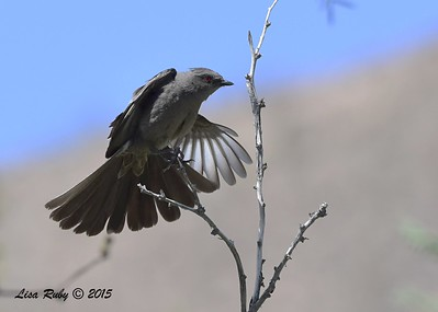 female Phainopepla - 4/4/2015 - Agua Caliente campground