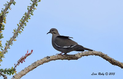 White-winged Dove - 4/5/2015 - Nature Trail, Agua Caliente