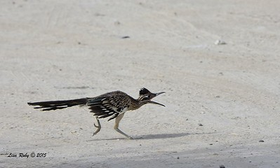 Greater Roadrunner - 4/4/2015 - tent sight 109, Agua Caliente