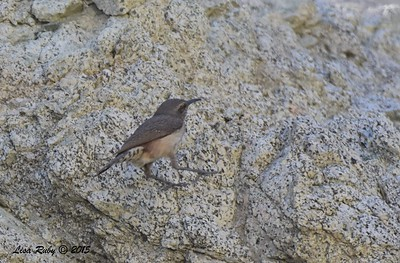 Rock Wren - 4/4/2015 - Moonlight Trail, Agua Caliente