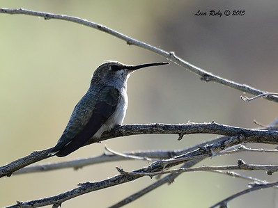 Female Costa's Hummingbird - 4/4/2015 - Moonlight Trail, Agua Caliente