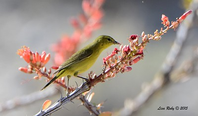 Orange-crowned Warbler - 4/4/2015 - Moonlight Trail, Agua Caliente