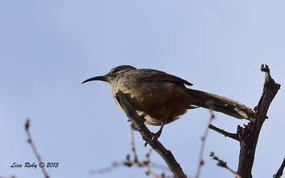 California Thrasher - 4/5/2015 - tent sight 109, Agua Caliente
