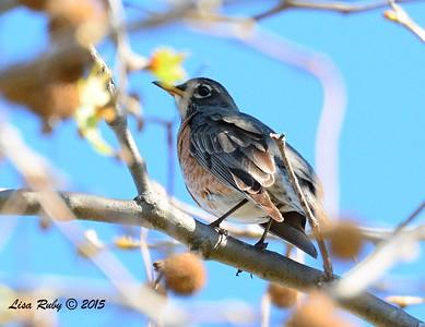 American Robin - 2/8/2015 - Valle Verde Park, Poway