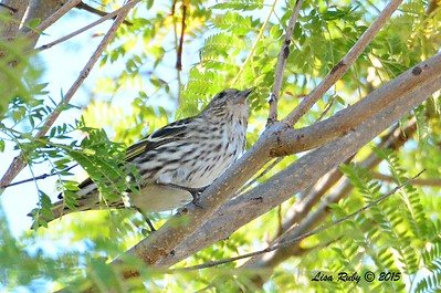 Pine Siskin - 2/8/2015 - Corner of Vineyard and Old Winery Court outside Bernardo Winery