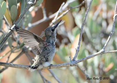 Fledgling Costa's Hummingbird - 3/15/2015  - Anza Borrego Desert State Park Visitor's Center