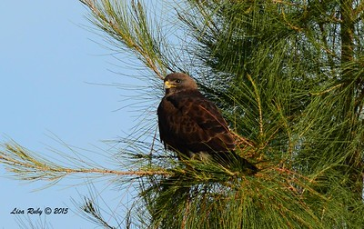 Swainson's Hawk - 3/15/2015 - Borrego Springs, Borrego Valley Rd