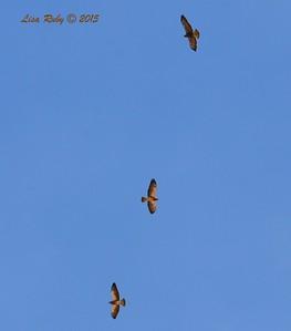 Swainson's Hawks - 3/15/2015 - Borrego Springs, Henderson Canyon Rd