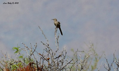 Crissal Thrasher - 3/15/2015 - Borrego Springs, Water Treatment settling pond area