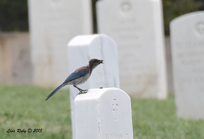 Juvenile Scrub Jay - 6/14/2015 - Fort Rosecrans National Cemetery