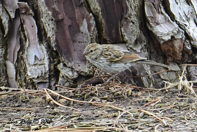 Juvenile Chipping Sparrow - 6/14/2015 - Fort Rosecrans National Cemetery