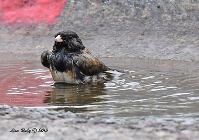 Dark-eyed Junco taking a bath in a puddle - 6/14/2015 - Fort Rosecrans National Cemetery