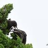 Juvenile European Starlings - 6/14/2015 - Fort Rosecrans National Cemetery