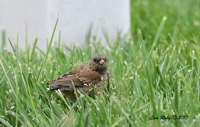 Juvenile Dark-eyed Junco - 6/14/2015 - Fort Rosecrans National Cemetery