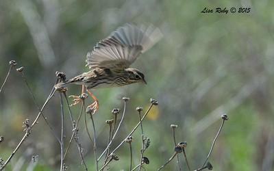 Savannah Sparrow - 10/11/2015 - Fiesta Island Dog Park