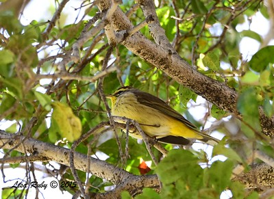 Palm Warbler - 3/29/2015 - Greenwood Cemetery