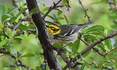 Townsend's Warbler - 3/29/2015 - Greenwood Cemetery