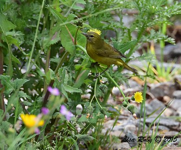 Orange-crowned Warbler - 3/29/2015 - Poggi Canyon area