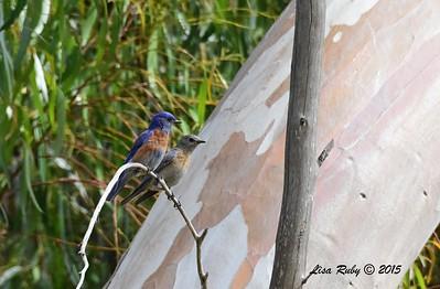 Western Bluebirds - 3/29/2015 - Poggi Canyon area