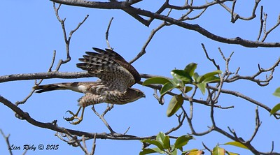 Immature Cooper's Hawk - 3/29/2015 - Greenwood Cemetery