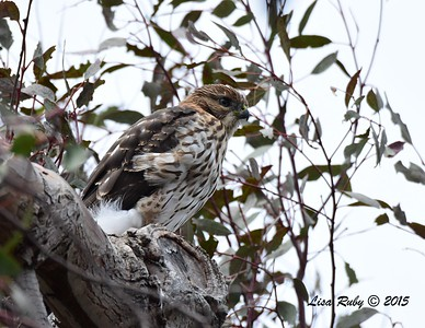 Juvenile Red-shouldered Hawk - 7/5/2015 - Imperial Beach Sports Park