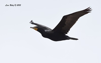 Double-crested Cormorant  - 7/5/2015 - Imperial Beach