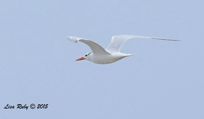 Royal Tern  - 7/5/2015 - Imperial Beach