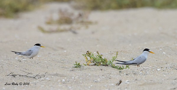 Least Terns -  7/5/2015 - Imperial Beach