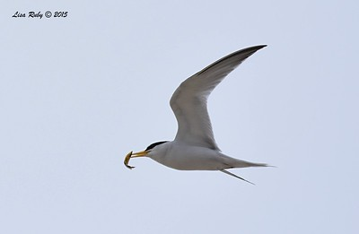Least Tern  - 7/5/2015 - Imperial Beach