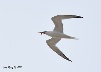 Elegant Tern  - 7/5/2015 - Imperial Beach