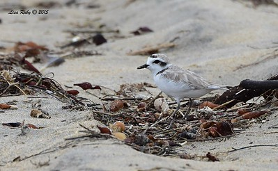 Snowy Plover  - 7/5/2015 - Imperial Beach