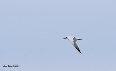 Caspian Tern  - 7/5/2015 - Imperial Beach