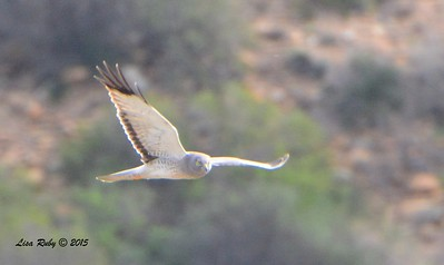 Male Northern Harrier - 1/25/2015 - Borderfield State Park