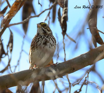 Savannah Sparrow  - 1/25/2015 - Sunset Ball Fields