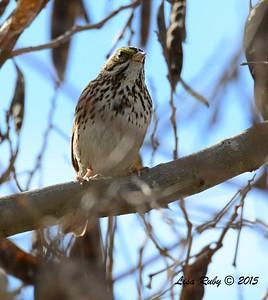 Savannah Sparrow - 1/25/2015 - Sunset Ball Fields