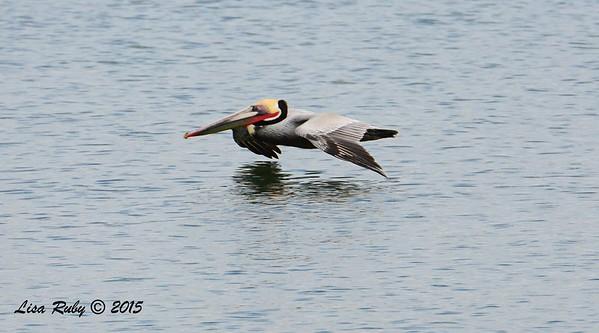 Brown Pelican  - 1/25/2015 - Grand Caribbe, Coronado
