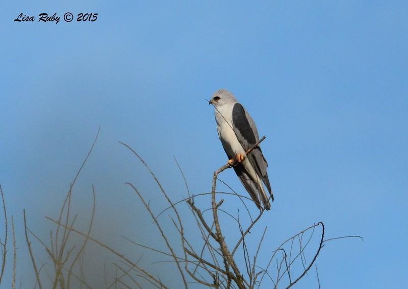White-tailed Kite - 1/25/2015 - Borderfield State Park
