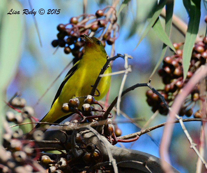 Western Tanager  - 1/25/2015 - Tesoro Grove Way near Nestor Park