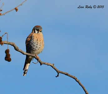 American Kestrel - 1/25/2015 - Bird and Butterfly Garden, Horse Corral area