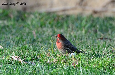 House Finch - 1/25/2015 - Tesoro Grove Way by Nestor Park