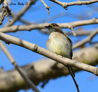 Eastern Phoebe - 1/25/2015 - Bird and Butterfly Garden, Horse Corral area