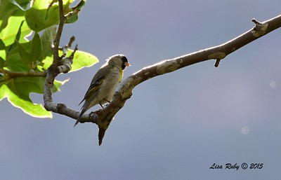 Lawrence's Goldfinch - 5/30/2015 - by bridge, Kitchen Creek
